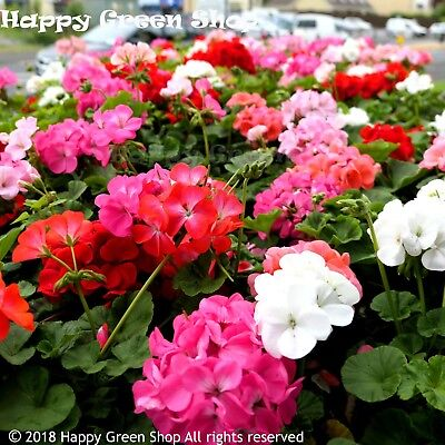 F2 GARDEN GERANIUM MIX - 10 SEEDS - Pelargonium hortorum - PERENNIAL FLOWER
