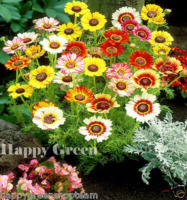 Painted Daisy - Merry Mixed -  750 SEEDS  - Chrysanthemum Carinatum - ANNUAL