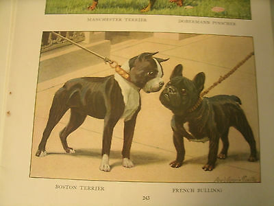 Louis A Fuertes French Bulldog & Boston Terrier book plate 1919 National Geo