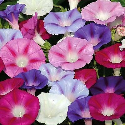 MORNING GLORY MIX - Ipomoea tricolor 160 SEEDS - ANNUAL CLIMBING FLOWER