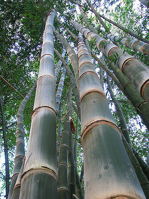 Dendrocalamus asper (Giant bamboo) 10 seeds - Fresh harvest June 2019 - V. Rare!