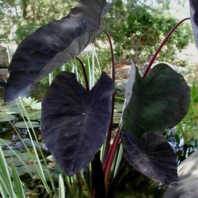 Colocasia  ( BLACK MAGIC ) Elephant Ear~Indoor to Full Sun~1 Plant