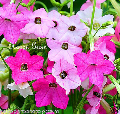 FLOWERING TOBACCO - 4000 SEEDS - Mixed sensation Nicotiana Alata  Grandiflora