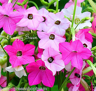 FLOWERING TOBACCO - Mixed sensation Nicotiana Alata  Grandiflora - 4000 SEEDS