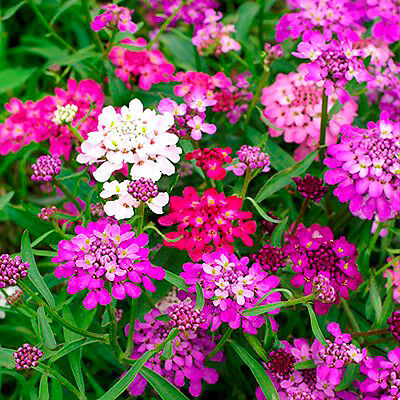 Candytuft - 600 seeds - Dwarf Fairyland Mixed - Iberis Umbellata - ROCKERIES