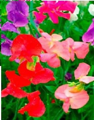 Flower - Sweet Pea - Mammoth Mixed - 2000 Seeds - Bulk Packet