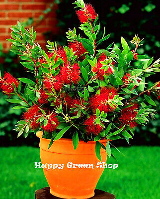 CRIMSON BOTTLEBRUSH TREE - 300 seeds - Callistemon citrinus