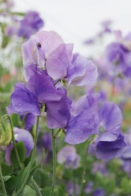 Flower - Sweet Pea - Mammoth Eleono - Mid Blue - 60 Seeds