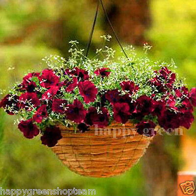 Trailing Petunia Burgundy Velour - 10 Seeds  - F1 Supercascade - Annual Flower