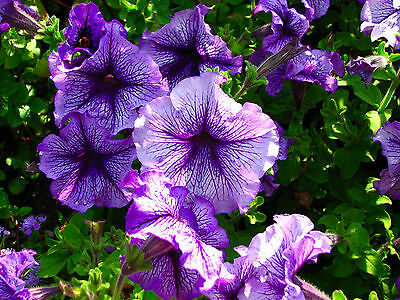 PETUNIA DELUXE MIXED COLORS - BALCONY FLOWER - 1000 SEEDS Petunia hybrida