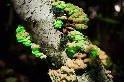 Glow in the dark mushroom Growing habitat log 100% Safe For All Reptiles