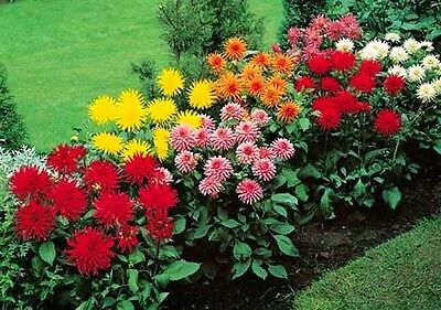 CACTUS FLOWERED HYBRIDS MIX -  100 SEEDS - Dahlia Pinnata Variabilis - DOUBLE