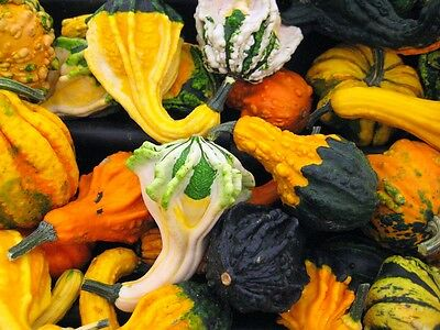 WILDY WEIRD WARTED - 30 seeds - Ornamental Gourd Pumpkin - Cucurbita pepo