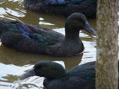 12  Purebred excellent quality Cayuga duck hatching eggs