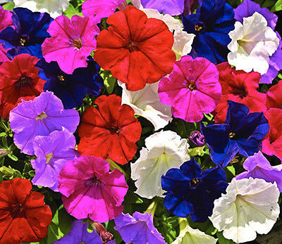 F1 TRAILING PETUNIA SUPERCASCADE MIX - 10 Pelleted seeds - Petunia grandiflora