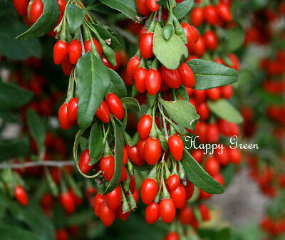 GOJI BERRY - WOLFBERRY - 400 SEEDS - Lycium Chinense - TREE SEEDS