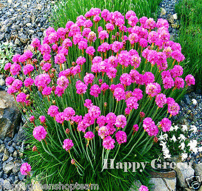 SEA THRIFT - Armeria Maritima - 100 scarified seeds - PERENNIAL FLOWER