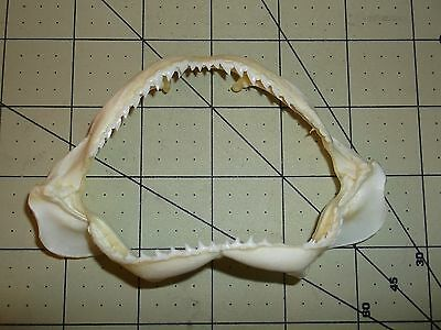 "REAL 4.75"" SHARK JAWS TEETH TAXIDERMY GENUINE BEACH 8 6 OCEAN JAW SEASHELL TOOTH"