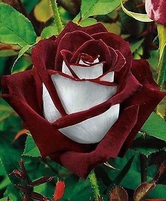 Love In Rose Bush 10 Seeds~Rare-Free Shipping-USA Seller
