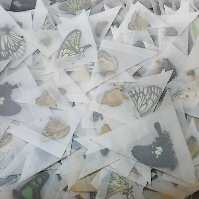 500 specimens mix lot butterflies real insects Lepidoptera Vietnam