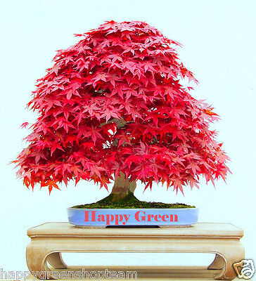 RED JAPANESE MAPLE - 10 seeds - Acer palmatum atropurpureum - Great for BONSAI