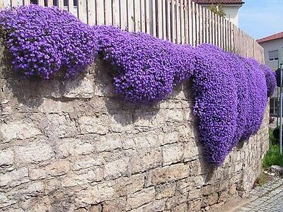ROCK CRESS CASCADE MIX - 450 SEEDS - Aubrieta cultorum hybrida - ROCKERY FLOWER