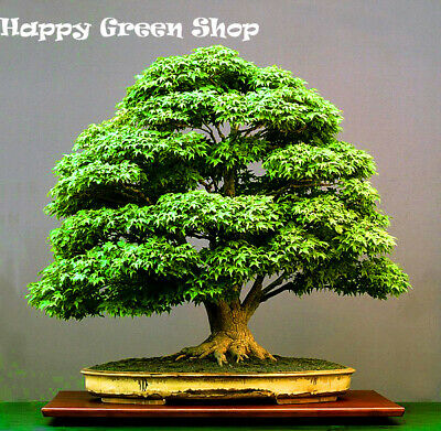 JAPANESE GREEN MAPLE - Acer Palmatum - 15 SEEDS - Perfect for bonsai