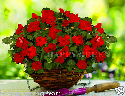 BUSY LIZZIE RED - BABY SERIES - 230 seeds - Impatiens walleriana - TOP FLOWERING