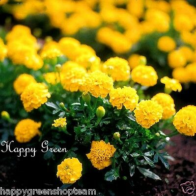 FRENCH MARIGOLD DWARF - YELLOW BOY - 200 seeds - Tagetes patula nana ANNUAL