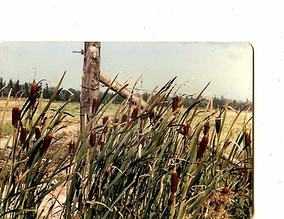 Old color photo cat-tails bullrushes old fence 5x4