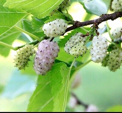 WHITE MULBERRY - MORUS ALBA - 55 SEEDS - Perfect for bonsai