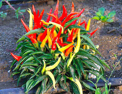 VEGETABLE - HOT CHILLI PEPPER CAYENNE RED -130 SEEDS - Capsicum Annuum