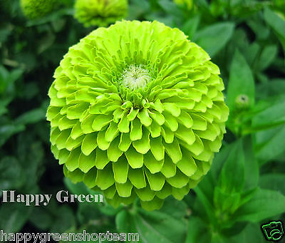 ZINNIA DAHLIA GIANT LIME QUEEN - 150 SEEDS - Zinnia elegans - ENVY DOUBLE FLOWER
