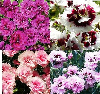 CHINESE DOUBLE - 500 seeds - MIX OF COLOURS - Dianthus Chinensis
