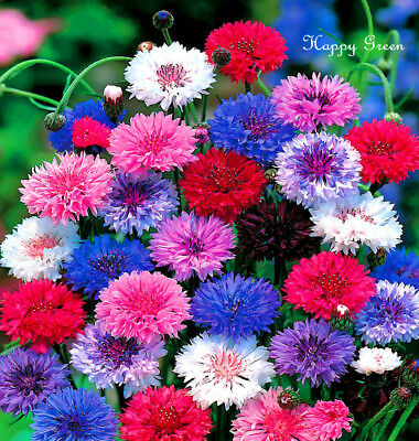 CORNFLOWER TALL  BATCHELOR'S BUTTON - 2000 SEEDS - Centaurea cyanus  DOUBLE BALL