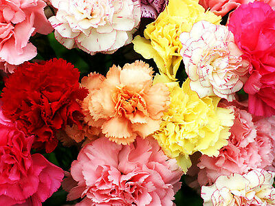 CARNATION MIX Chabaud - 330 seeds - Dianthus caryophyllus - Flower