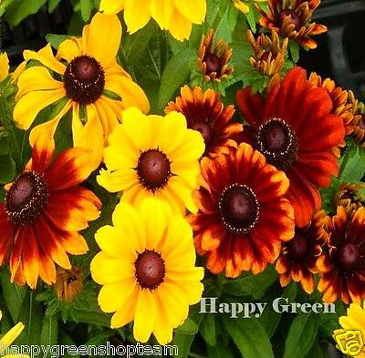BLACK EYED SUSAN TALL - 1200 SEEDS - GOLDEN CONEFLOWER MIX - Rudbeckia Hirta