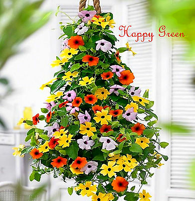 THUNBERGIA MIXED - 35 seeds - BLACK EYED SUSAN VINE - Thunbergia Alata  Flower
