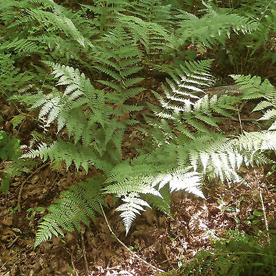 Intermediate Wood Fern ...... 200 Spores