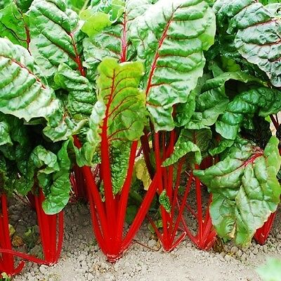 VEGETABLE - SWISS CHARD RHUBARB RED - 350 SEEDS - Beta Vulgaris