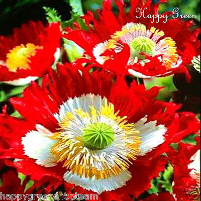 POPPY DANISH FLAG - Papaver Somniferum - 300 seeds - ANNUAL FLOWER