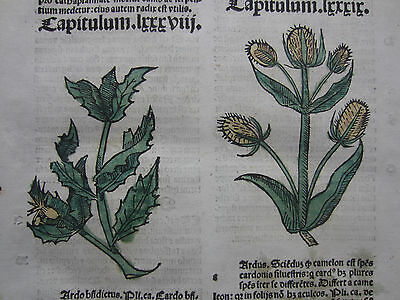 Incunable Leaf Hortus Sanitatis Thistle Colored Woodcut Venice - 1500