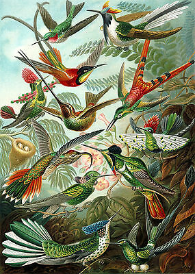 Ernst Haeckel: Trochilidae Painting Birds Aviary Nature Real Canvas Print New