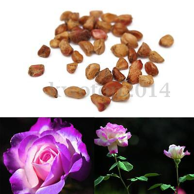 20Pcs European Purple and Pink Rose Seeds Perennial For Home Garden Farm Decor