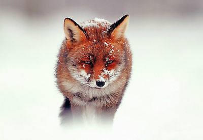 Picture Poster Animal Mist Art Framed Print Wild Red Fox Laying in the Snow