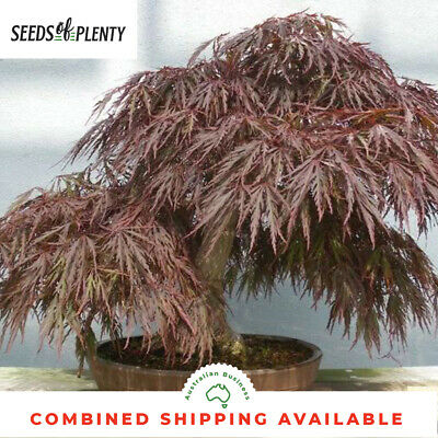 Red Cut Leaved Japanese Maple - Acer palmatum atropurpureum dissectum (10 Bonsai