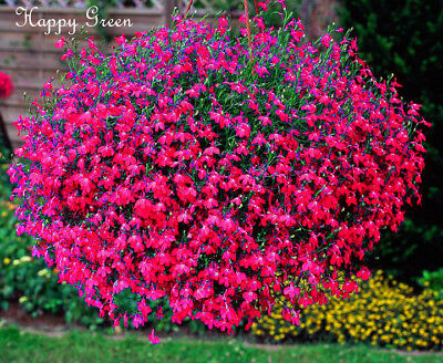 TRAILING LOBELIA - CASCADE SERIES RED - 7000 SEEDS -  Lobelia Pendula