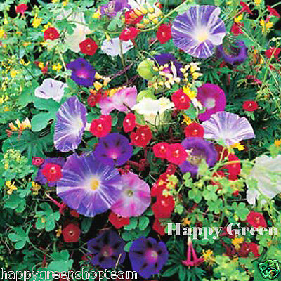 CLIMBING FLOWERS MIX - 3gr SEEDS - MINA Sweet Pea COBAEA Bean MORNING GLORY