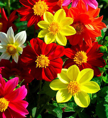 DAHLIA VARIABILIS DWARF SINGLE MIGNON - 130 SEEDS - Compact regular ball-shaped