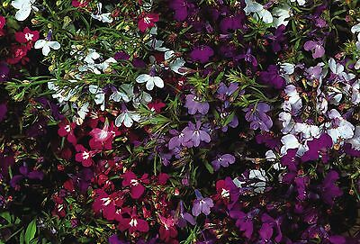 Flower - Kings Seeds - Pictorial Packet - Lobelia - Pendula Cascade Mixed